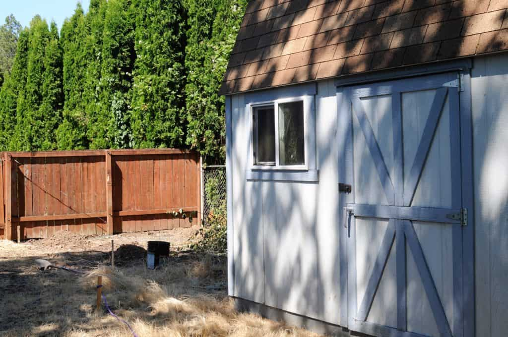 Large blue shed next to a brown fence and large green arborvitae trees.