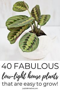 """Small plant in a white, round pot with text below that reads """"40 fabulous low-light house plants that are easy to grow!"""""""