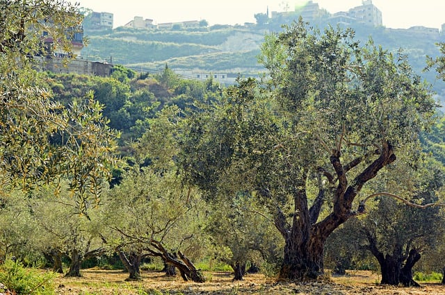 Large olive trees in an orchard along a hill.